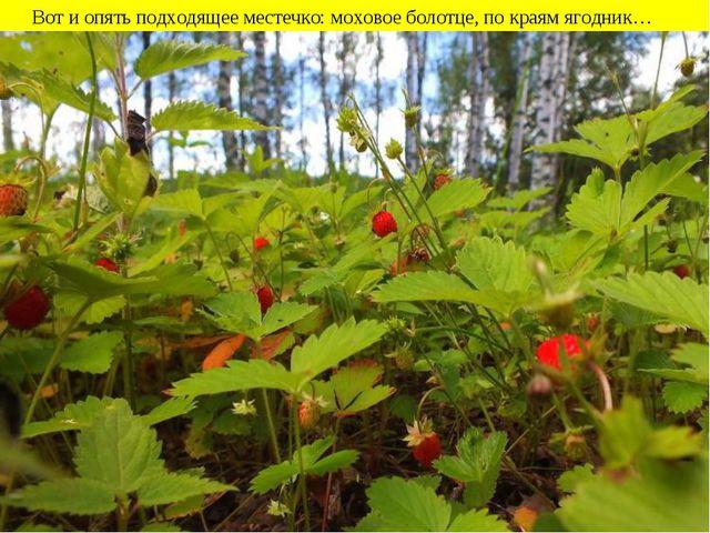 Вот и опять подходящее местечко: моховое болотце, по краям ягодник…