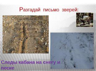 Разгадай письмо зверей: Следы кабана на снегу и песке
