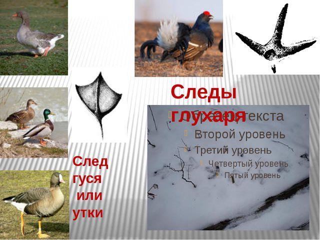 Следы глухаря След гуся или утки
