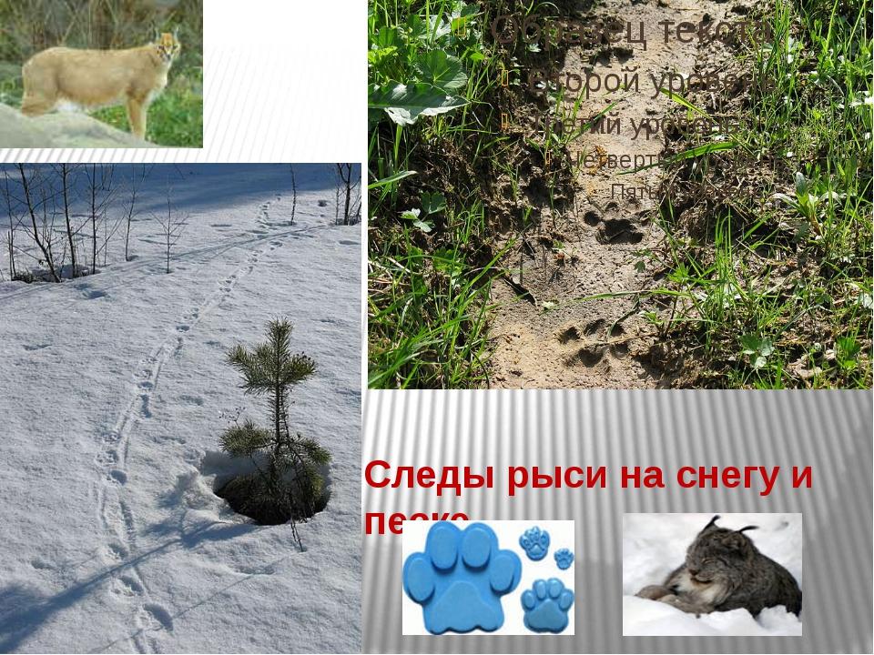 Следы рыси на снегу и песке