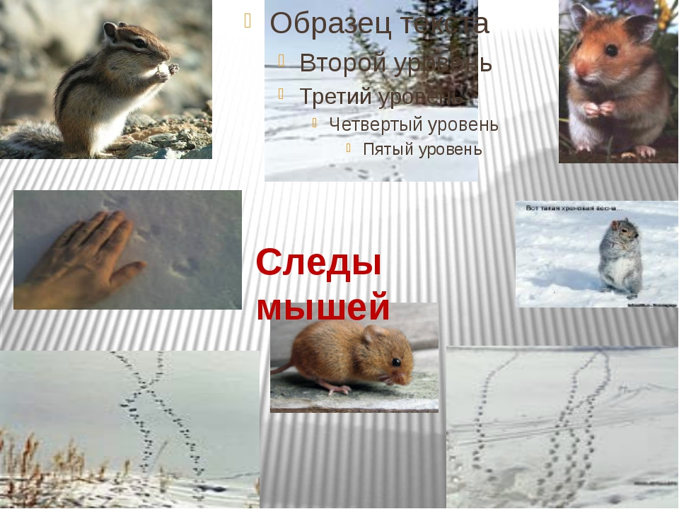 Следы мышей