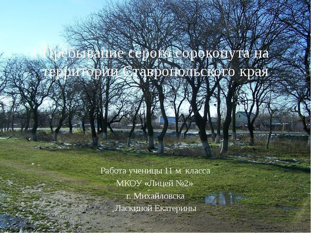 Пребывание серого сорокопута на территории Ставропольского края Работа учениц...