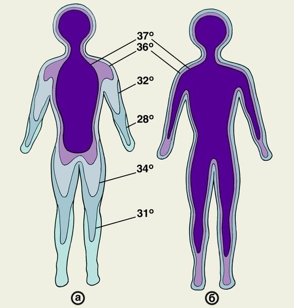 Распределение температурных зон внутри и на поверхности тела человека в норме: а — <a REL=