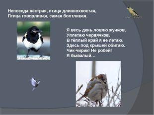 Непоседа пёстрая, птица длиннохвостая, Птица говорливая, самая болтливая. Я в