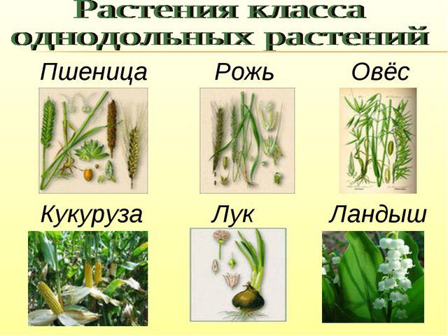 Пшеница Рожь Овёс Кукуруза Лук Ландыш
