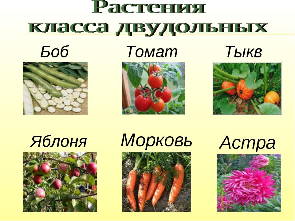 Боб Томат Тыква Яблоня Морковь Астра