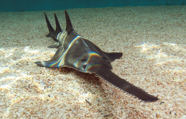 http://www.maniamag.com.au/wp-content/uploads/2011/12/Sydney-Aquarium-announces-arrival-of-Sawfish-616x395.jpg