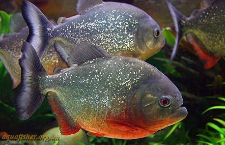 http://aquafisher.org.ua/wp-content/uploads/Pygocentrus_nattereri.jpg