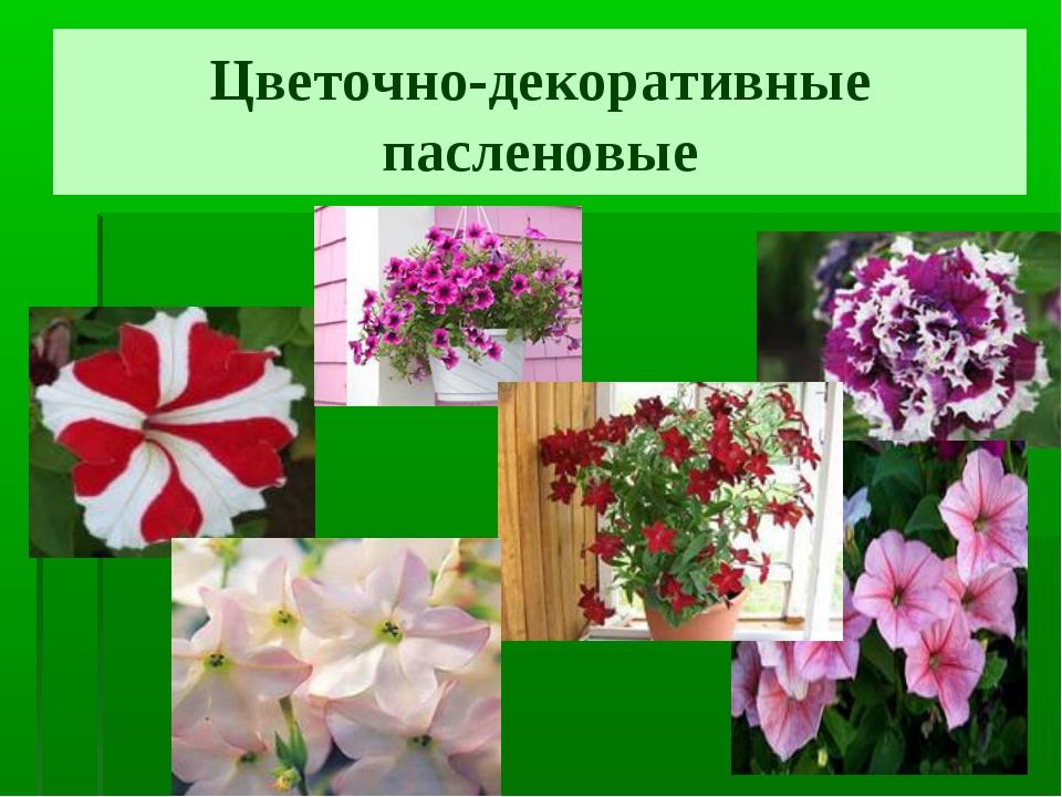 Цветочно-декоративные пасленовые