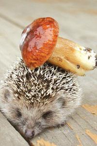 http://www.avatarworld.ru/avatarki/kontakt/avatarki-animal-hedgehogs/avatars/19_hedgehog_and_mushroom.jpg