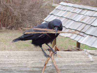 http://www.adirondackalmanack.com/wp-content/uploads/2013/04/Nesting-Crows.jpg