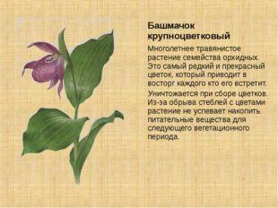 Башмачок крупноцветковый Многолетнее травянистое растение семейства орхидных