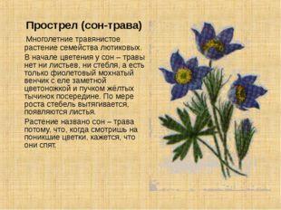Прострел (сон-трава) Многолетние травянистое растение семейства лютиковых. В