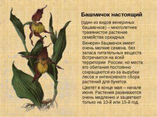 Башмачок настоящий (один из видов венериных башмачков) – многолетнее травяни