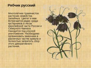 Рябчик русский Многолетнее травянистое растение семейства лилейных. Цветет