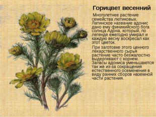 Горицвет весенний Многолетнее растение семейства лютиковых. Латинское назван