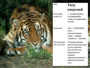Вид: Тигр амурский Категория редкости:2 - редкий подвид, сохранившийся тол
