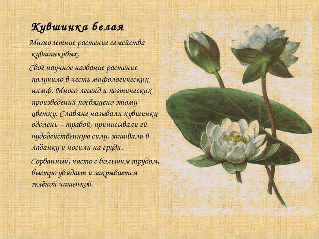 Кувшинка белая Многолетние растение семейства кувшинковых. Своё научное назв...