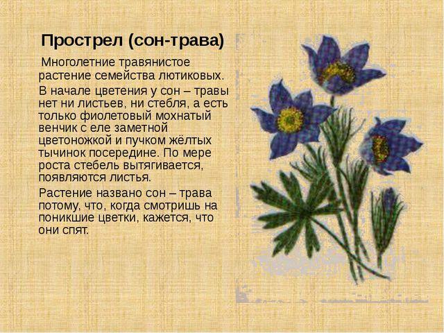 Прострел (сон-трава) Многолетние травянистое растение семейства лютиковых. В...