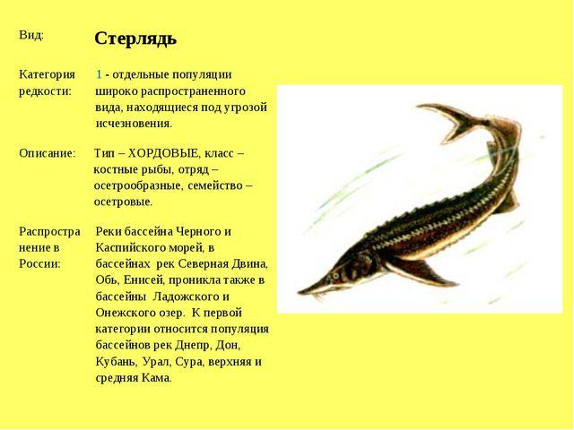 Вид: Стерлядь Категория редкости:1 - отдельные популяции широко распростра...