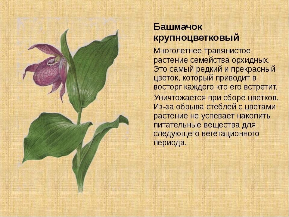 Башмачок крупноцветковый Многолетнее травянистое растение семейства орхидных...