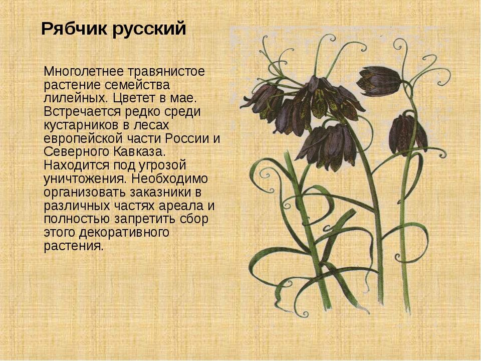 Рябчик русский Многолетнее травянистое растение семейства лилейных. Цветет...