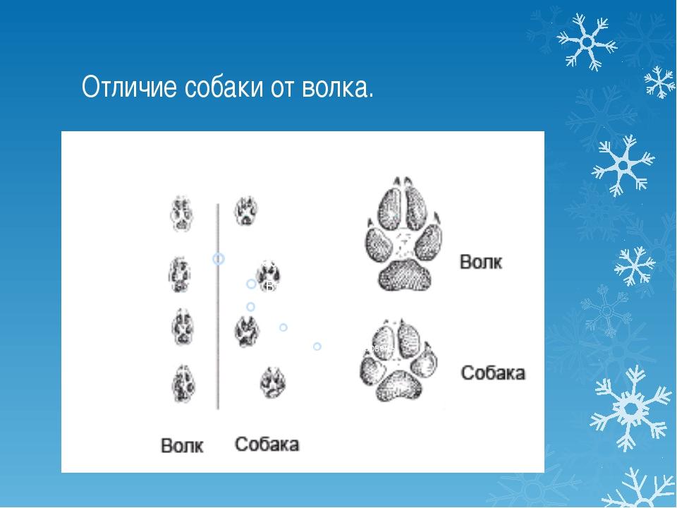 Отличие собаки от волка.
