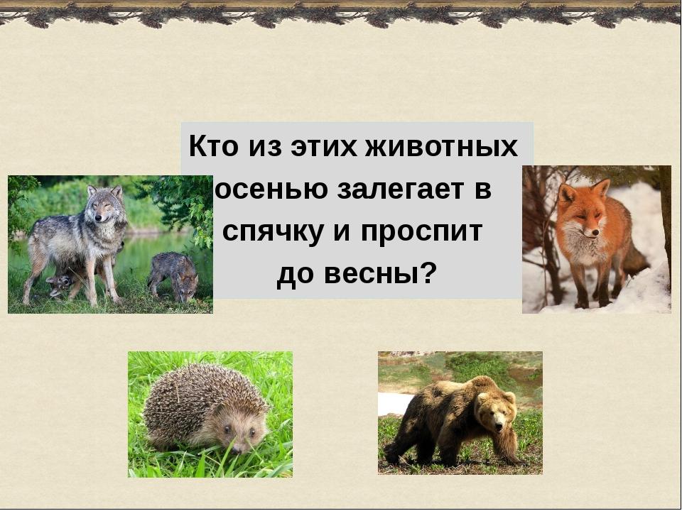 Кто из этих животных осенью залегает в спячку и проспит до весны?