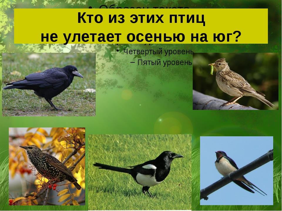 Кто из этих птиц не улетает осенью на юг?