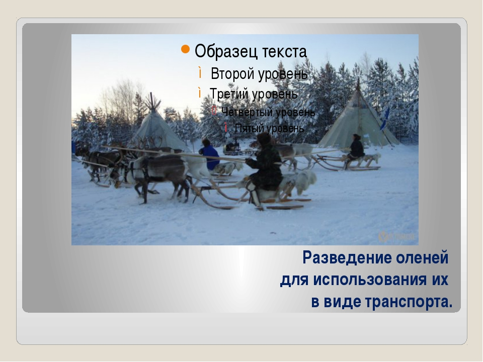 Разведение оленей для использования их в виде транспорта.