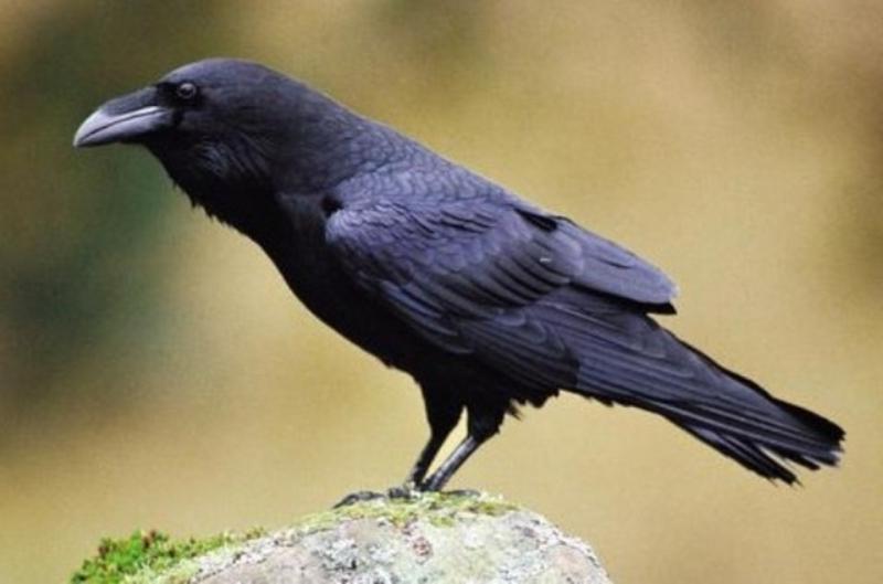 Предыдущее фото... вернуться к списку птиц. Следующее фото