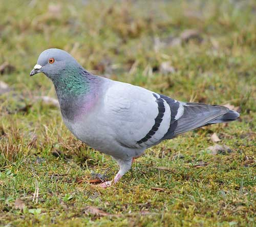 Сизый голубь - внешний вид