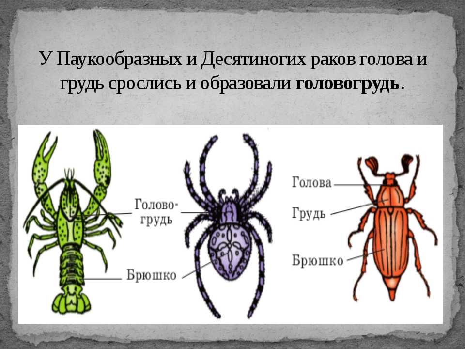 У Паукообразных и Десятиногих раков голова и грудь срослись и образовалиголо...