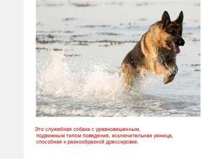 Это служебная собака с уравновешенным, подвижным типом поведения, исключитель
