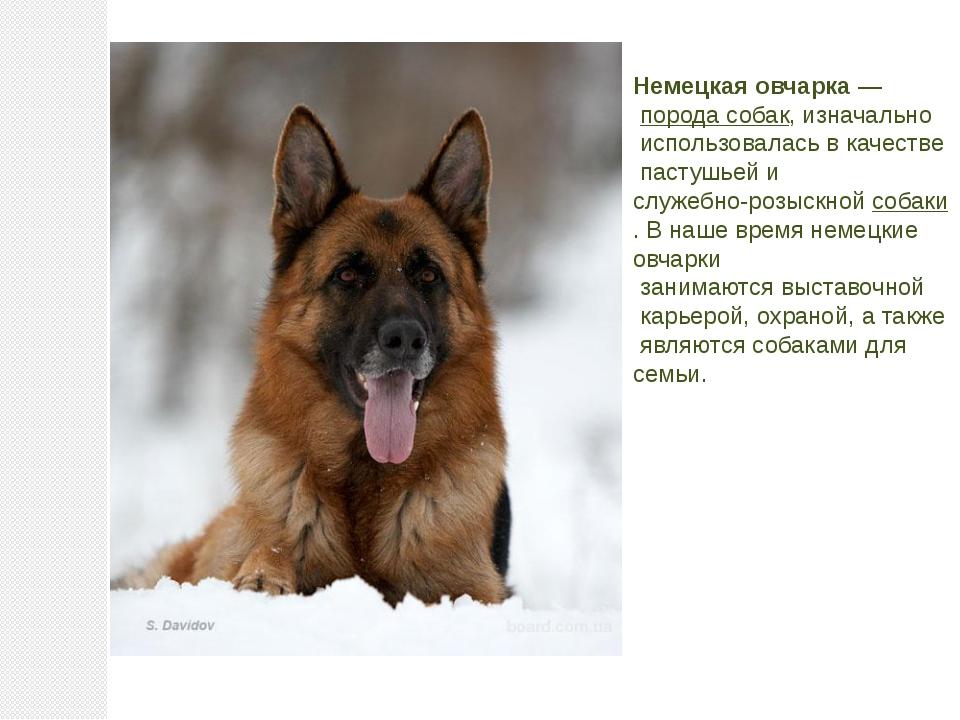 Немецкая овчарка— порода собак, изначально использовалась в качестве пастуш...