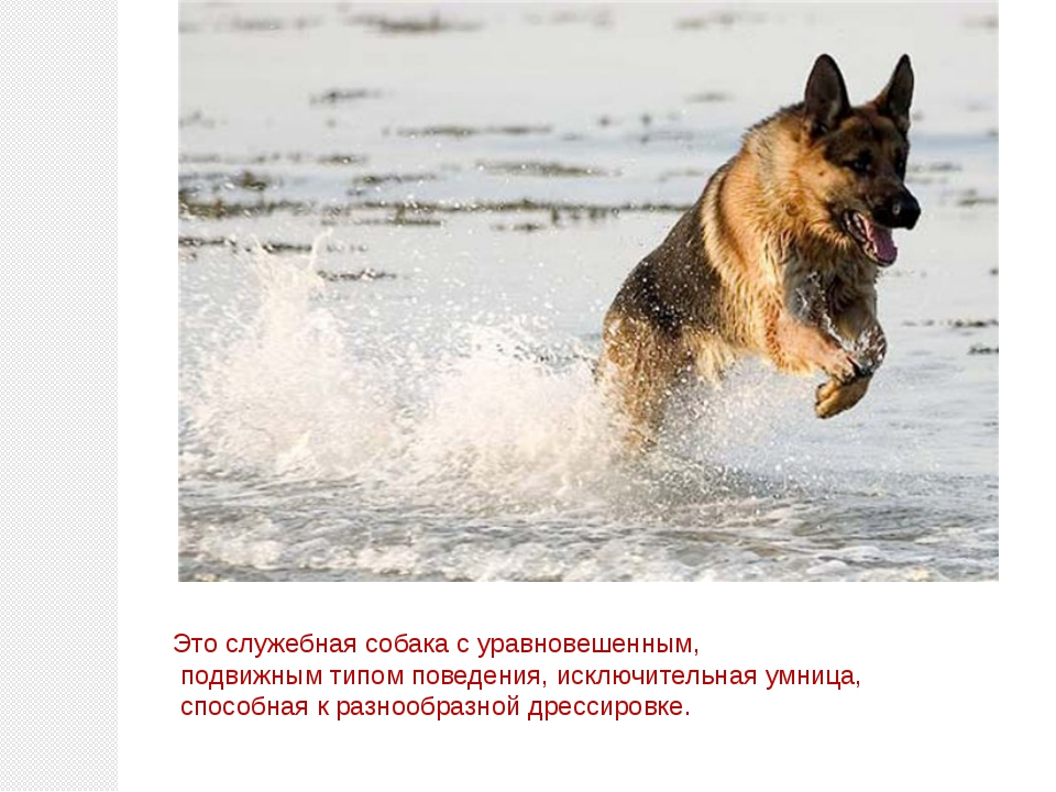 Это служебная собака с уравновешенным, подвижным типом поведения, исключитель...