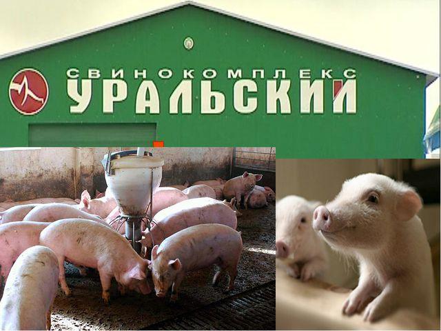 Уральский свинокомплекс