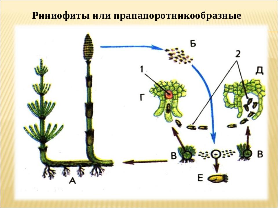 Риниофиты или прапапоротникообразные