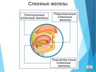 Механическую обработку пищи осуществляют язык и зубы. Язык определяет темпера
