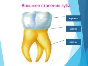 Функции зубов Резцы - режут. Клыки – разрывают. Большие и малые коренные – пе