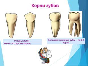 Внутреннее строение зуба Внутреннее строение зуба Основная масса зуба состоит