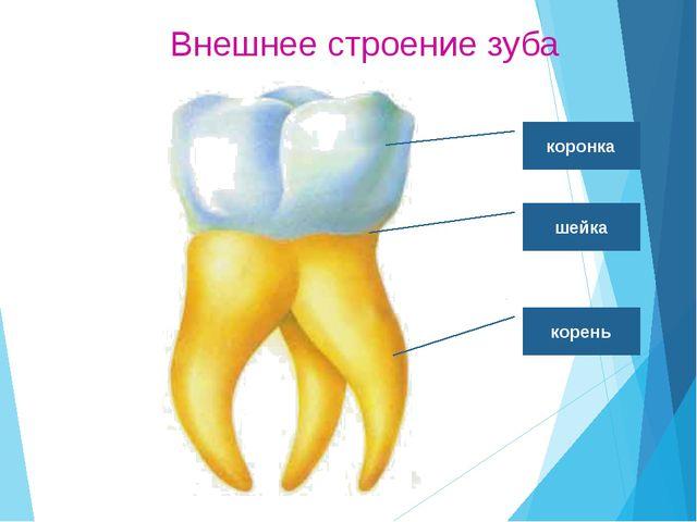 Функции зубов Резцы - режут. Клыки – разрывают. Большие и малые коренные – пе...
