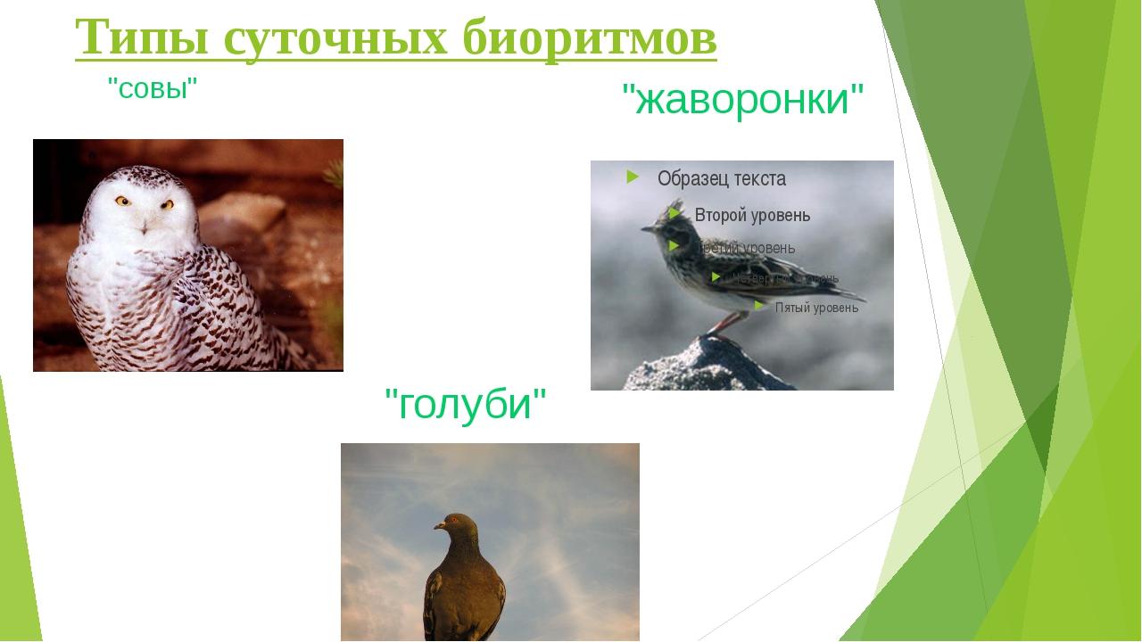 """Типы суточных биоритмов """"совы"""" """"жаворонки"""" """"голуби"""""""