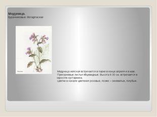 Медуница. Бурачниковые: Boraginaceae Медуница неясная встречается в парке в к