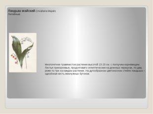 Ландыш майский.Cnvallaria Majalis Лилейные Многолетнее травянистое растение в