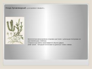 Плаун булавовидный. Lycocopodium clavatum L. Многолетнее вечнозелёное спорово