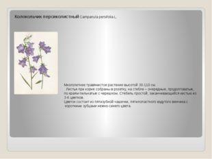 Колокольчик персиколистный Campanula persifolia L. Многолетнее травянистое ра