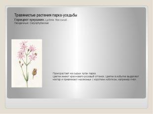 Травянистые растения парка-усадьбы Горицвет кукушкин. Lychnis flos-cuculi . Г