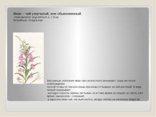 Иван – чай узорчатый, или обыкновенный. Chamaenerion angustifolium (L.) Scop.