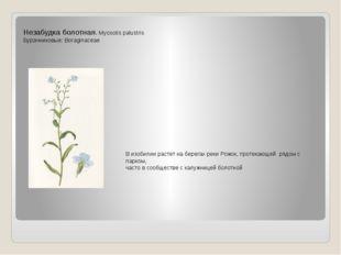 Незабудка болотная. Myosotis palustris Бурачниковые: Boraginaceae В изобилии